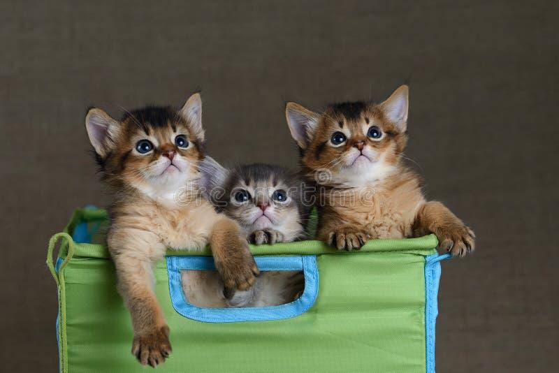 Drie leuke Somalische katjes op een grijze backround stock fotografie