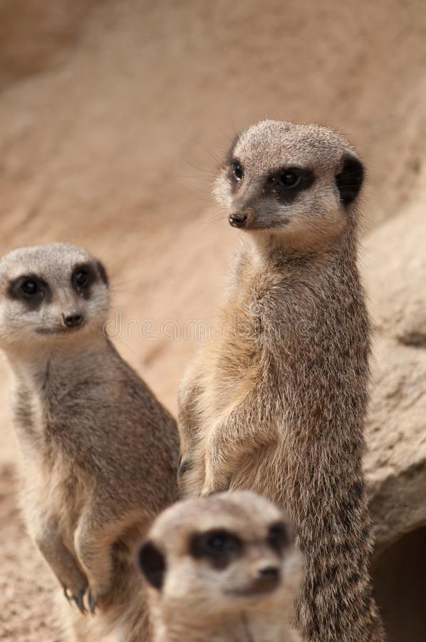 Drie Meerkats op het vooruitzicht stock foto