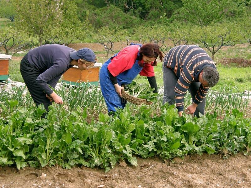 Drie mensen samen in de gebied het plukken snijbiet royalty-vrije stock afbeelding