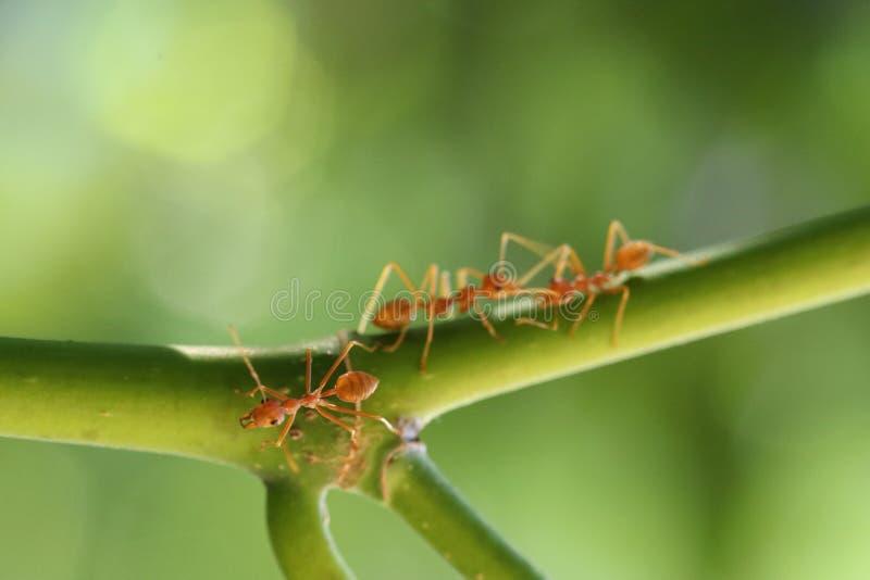 Drie mieren die zich in een boom vastklampen royalty-vrije stock afbeeldingen