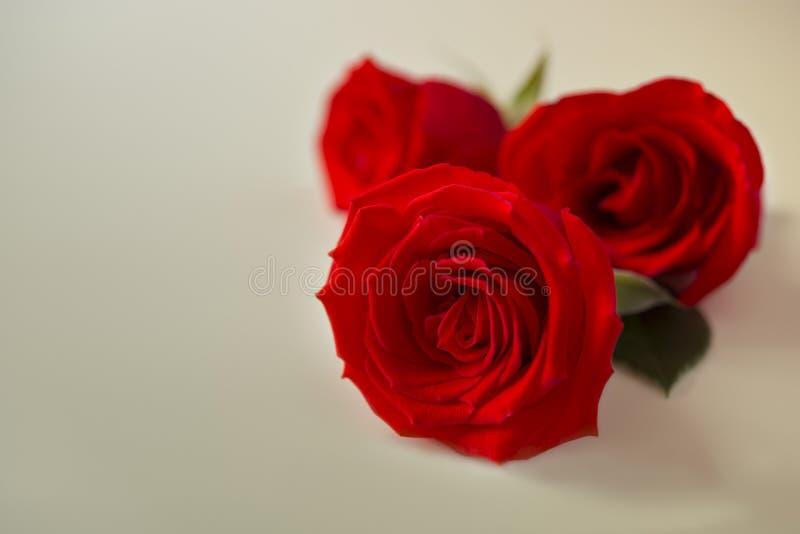 Drie mooie die rood nam bloemen met kleurenfilters worden gemaakt voor bedelaars toe stock afbeeldingen