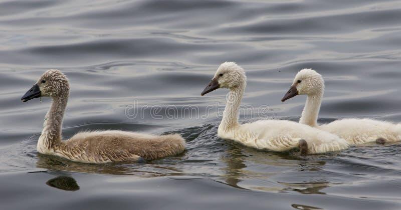 Drie mooie kuikens van de stodde zwanen zwemmen stock fotografie