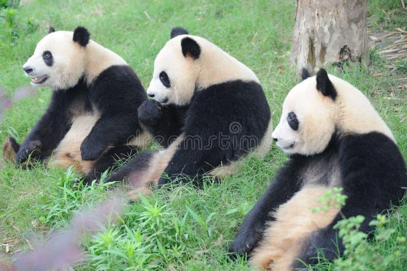 Drie mooie panda's die op de weide zitten royalty-vrije stock foto's