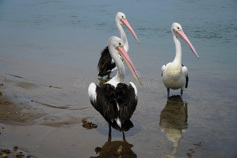 Drie mooie Pelikanen royalty-vrije stock foto's