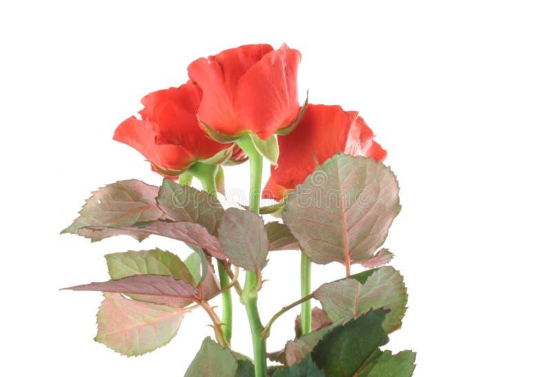 Drie mooie rode rozen op wit stock foto