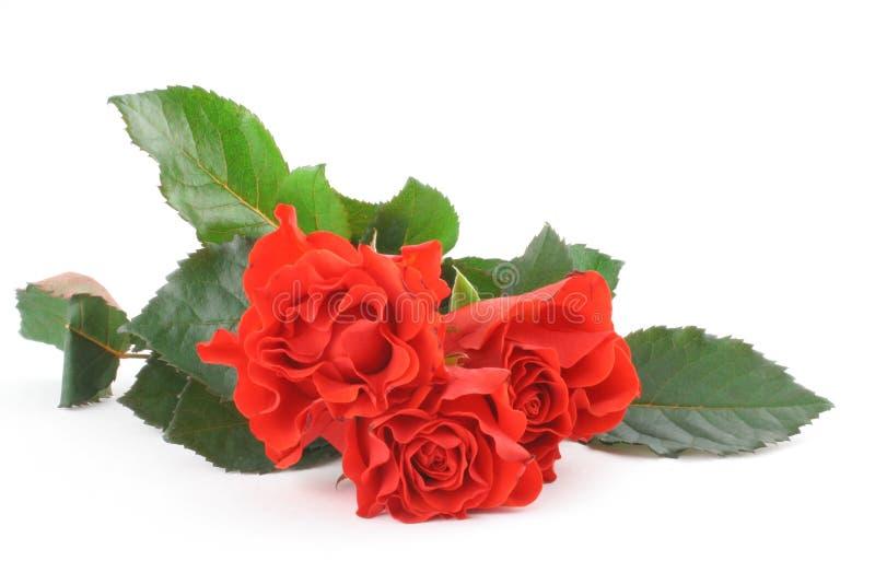 Drie mooie rozen op wit royalty-vrije stock afbeeldingen