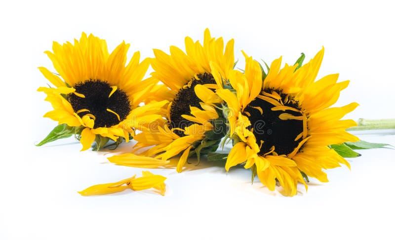 Drie mooie zonnebloemen op een witte achtergrond stock afbeeldingen
