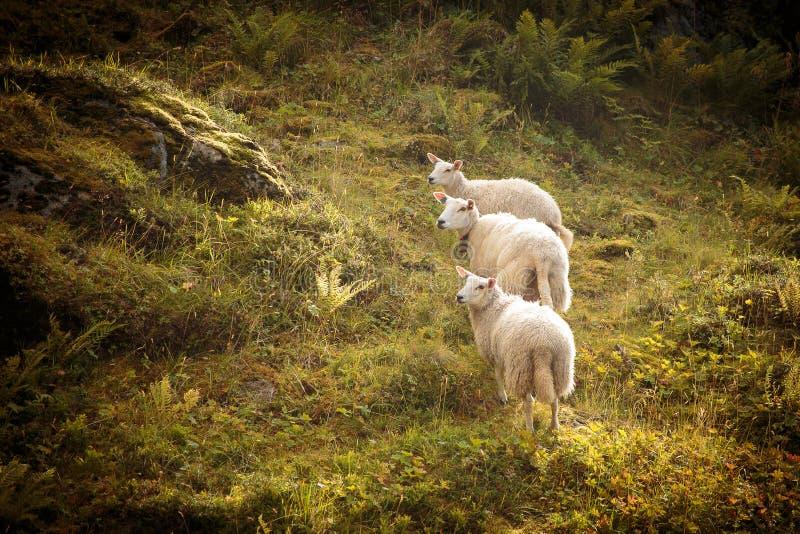 Drie nieuwsgierige schapen stock fotografie