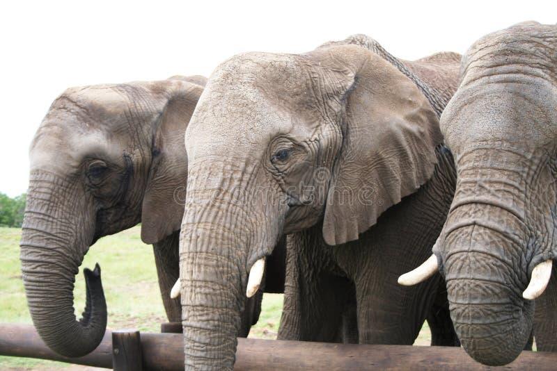 Drie Olifanten stock fotografie