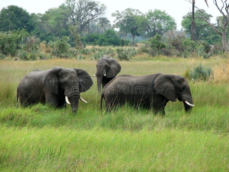 Drie olifanten royalty-vrije stock fotografie