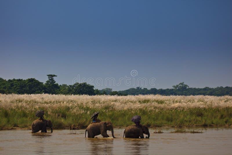 Drie Olifanten en Ruiters die onderaan de Rivier gaan royalty-vrije stock foto's
