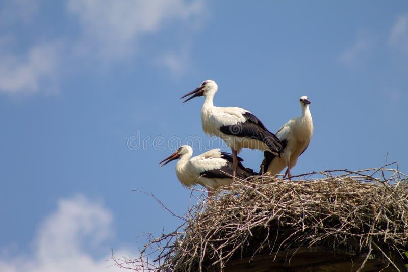 Drie ooievaars in een nest die blauwe hemelachtergrond opletten stock foto's