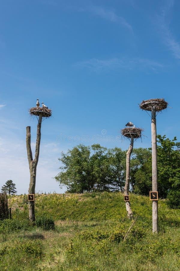 Drie ooievaarsnest op pijlers in Zwin-Vogeltoevluchtsoord, knokke-Heist, Vlaanderen, België royalty-vrije stock fotografie