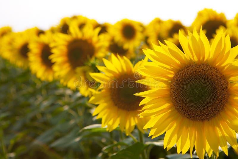 Drie oranje zonnebloemen in één rij die in grootte op de eerste, tweede en derde plaats dalen stock afbeelding