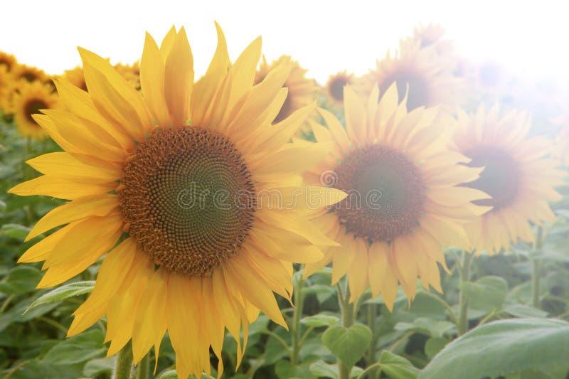 Drie oranje zonnebloemen in één rij die in grootte op de eerste, tweede en derde plaats dalen royalty-vrije stock afbeelding