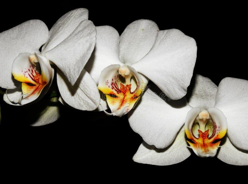 Drie orchideeën stock afbeelding