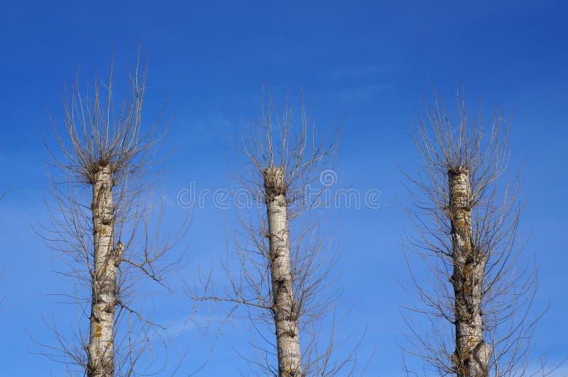 Drie oude populierbomen na totaal die alle takken snoeien royalty-vrije stock fotografie