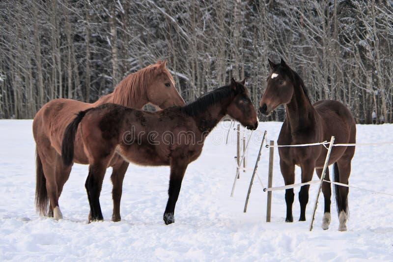 Drie paarden die de winterlagen in sneeuw behandelde paddock dragen stock foto's