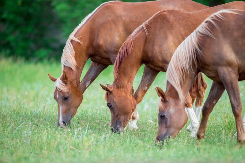 Drie paarden die groen gras op gebied eten stock afbeelding
