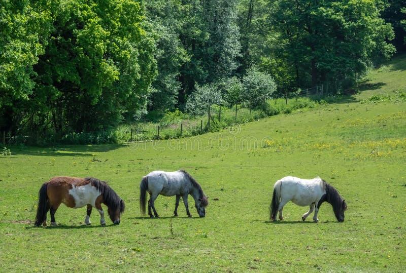 Drie paarden die op een weide weiden stock afbeelding