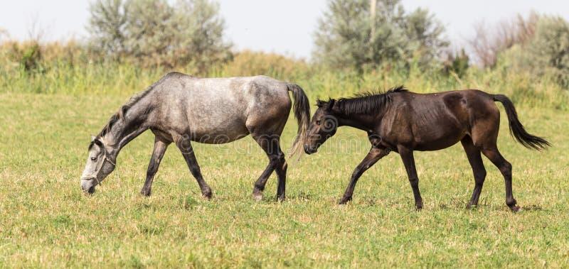Drie paarden in een weiland in aard stock afbeelding