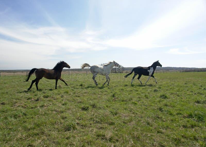 Drie paarden frolick op gebied stock afbeeldingen