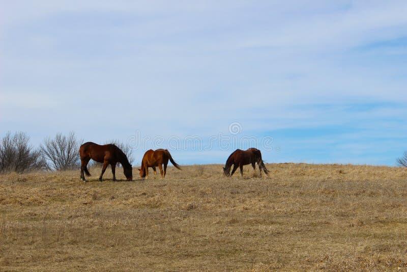 Drie paarden in het gras stock foto's