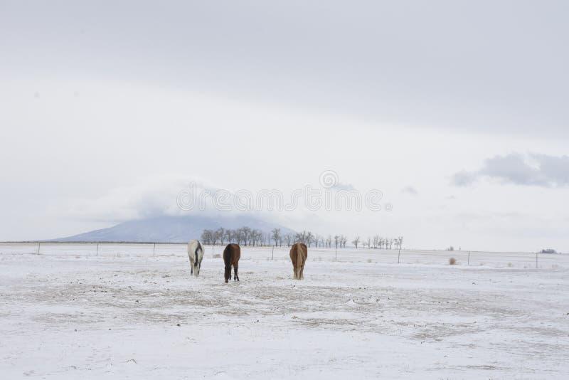 Drie paarden met de berg van Ute in de winter stock foto's