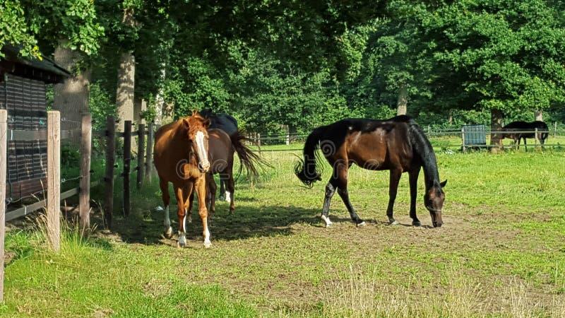 Drie paarden op een weiland het voeden gras stock afbeeldingen