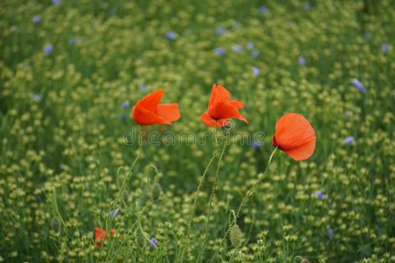 Drie papavers op een gebied van wilde bloemen stock foto