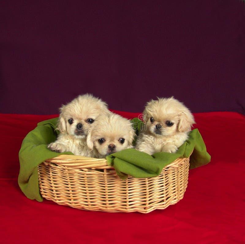 Drie pekinese puppies stock foto's