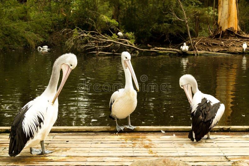 Drie pelikanen stock foto's