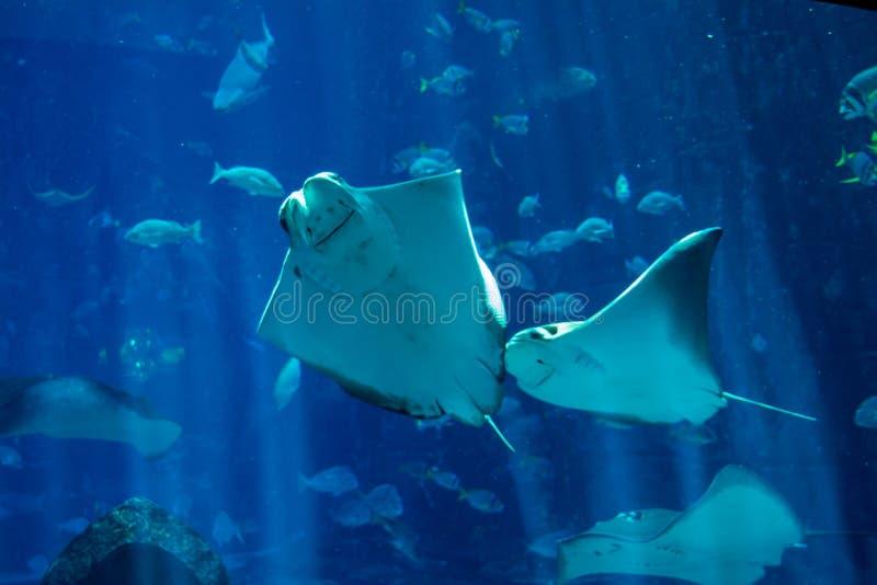 Drie pijlstaartroggen die in het grote aquarium zwemmen stock afbeeldingen