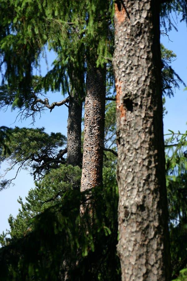 Download Drie pijnboom-bomen stock afbeelding. Afbeelding bestaande uit wild - 281165