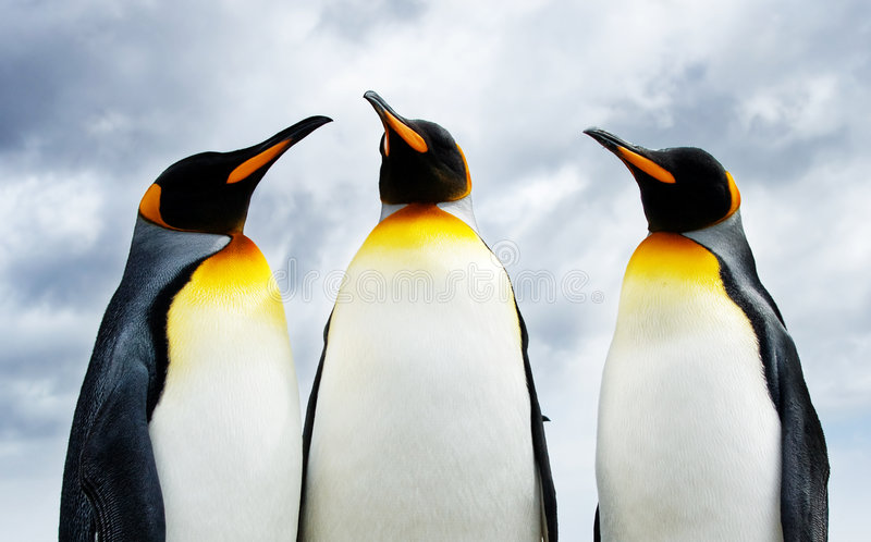 Drie Pinguïnen van de Koning royalty-vrije stock foto