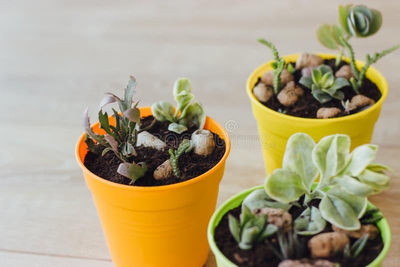 Drie potten van succulents op de vloer stock afbeelding