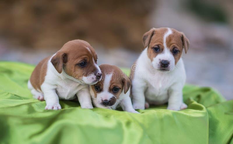 Drie puppy royalty-vrije stock afbeeldingen