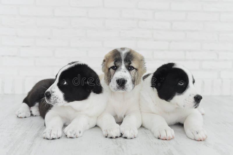 Drie puppy Alabai op een witte achtergrond in studio stock afbeeldingen