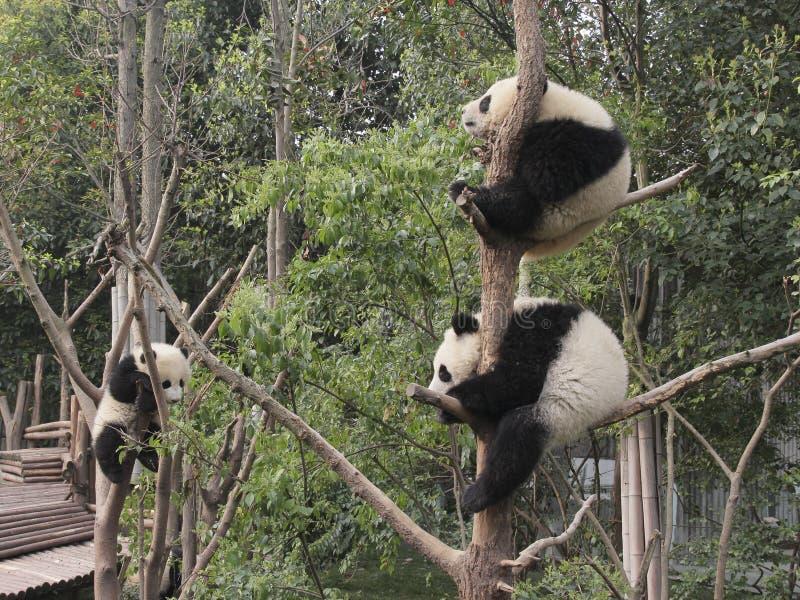Drie reuzepanda'swelpen die op de boom spelen stock foto's