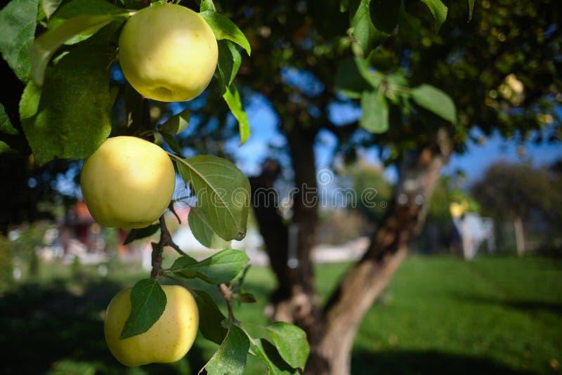 Drie rijpe groene appelen op een tak van de wintersoort appelboom Imrus over de rustieke zomer uit nadrukachtergrond stock afbeelding