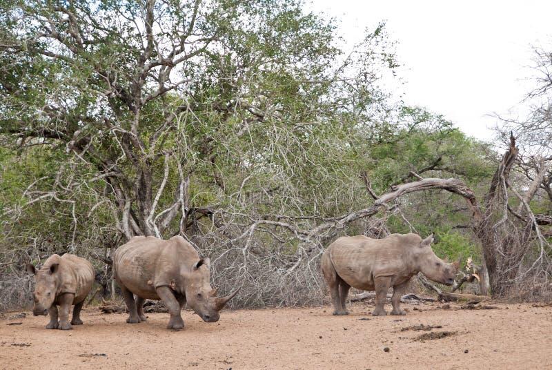 Drie rinocerossen stock afbeelding