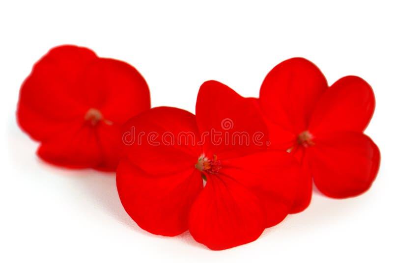 Drie rode bloemen royalty-vrije stock foto's