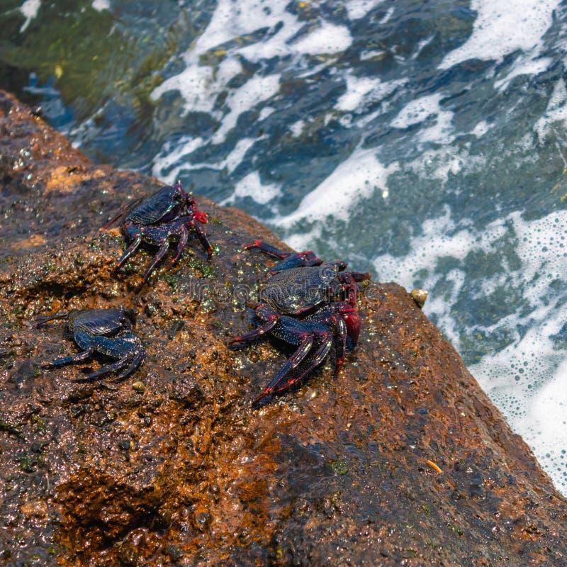 Drie rode grapsusadscensionis die van rotskrabben op de rots dichtbij de oceaan zitten - Beeld royalty-vrije stock afbeelding