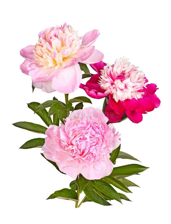 Drie rode, roze en witte geïsoleerde pioenbloemen royalty-vrije stock foto's