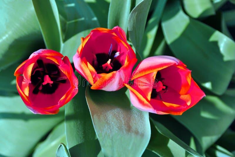 Drie rode roze tulpenbloemen die, onscherpe groene bladerenachtergrond bloeien royalty-vrije stock foto's