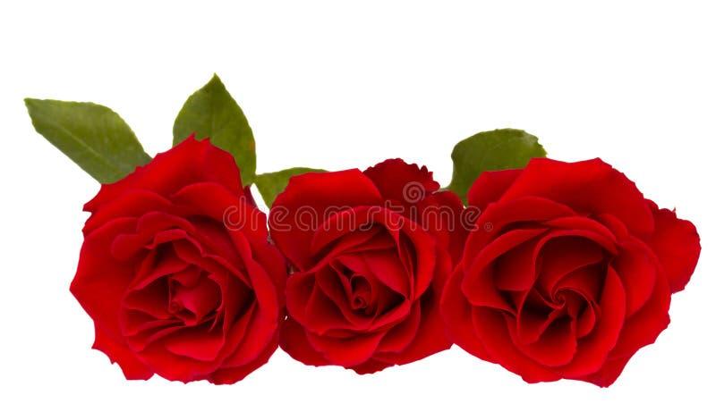 Drie rode rozen royalty-vrije stock foto