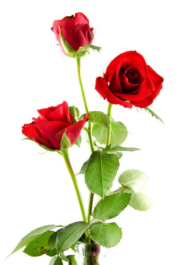 Drie rode rozen stock foto's