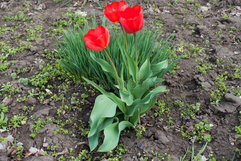 Drie rode tulpen in bloei in april stock foto