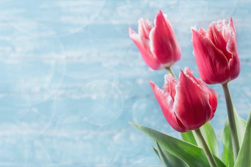 Drie rode tulpen op blauwe achtergrond royalty-vrije stock afbeelding
