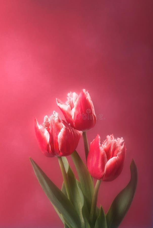 Drie rode tulpen op roze achtergrond stock fotografie